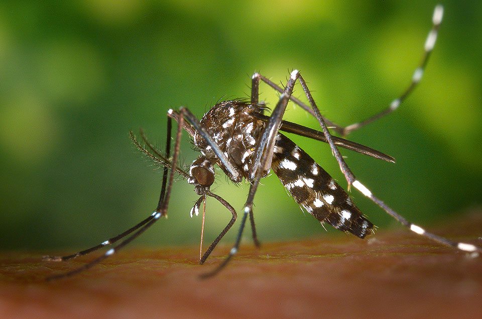 tiger mosquito 49141 pixabay - Achtung, Blutsauger