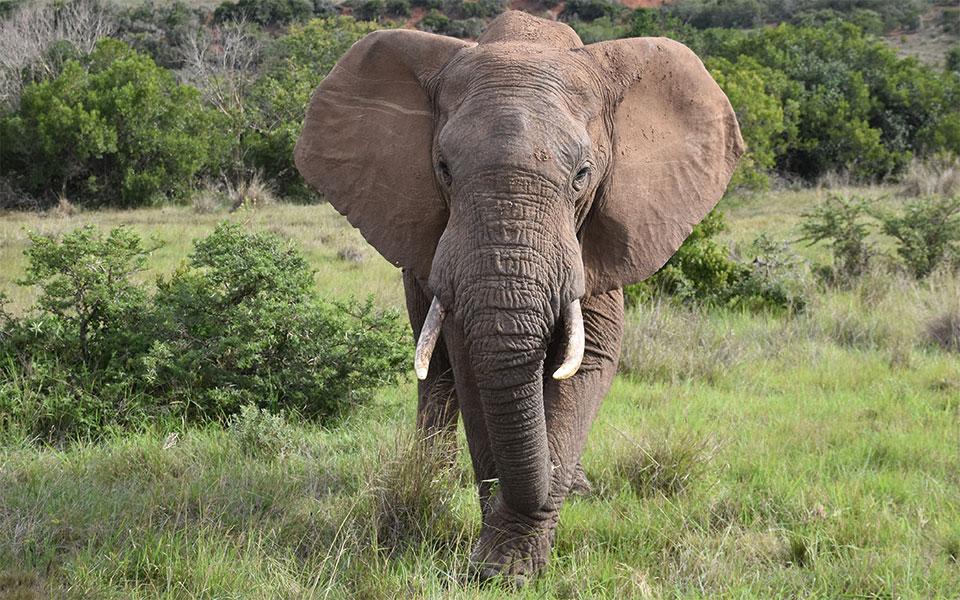 Elefant in Wildnis