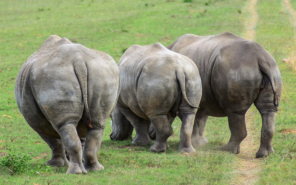 Drei Nashörner von hinten