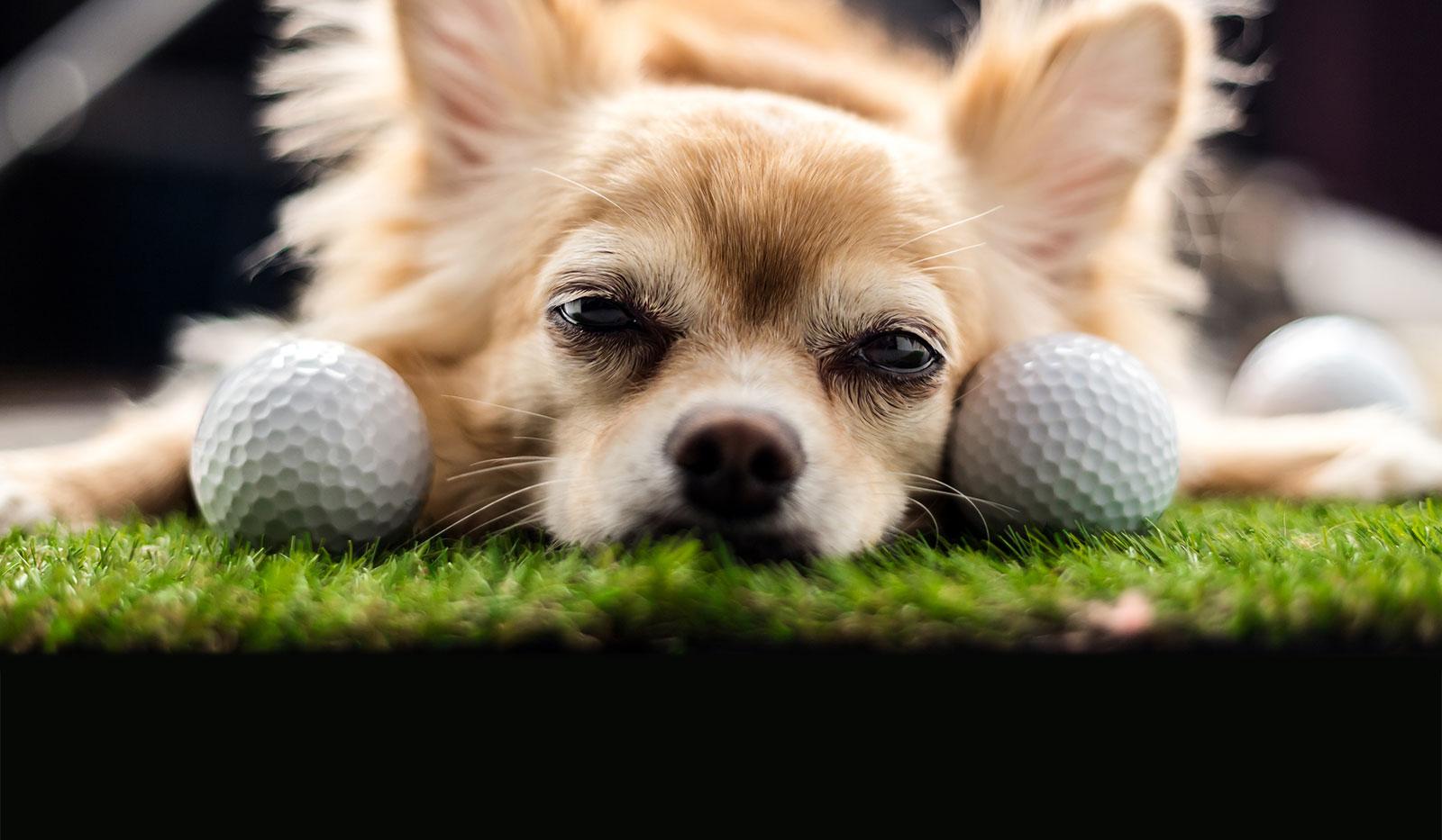 Kleiner Hund liegt mit der Schnauze nach vorne neben Golfbällen