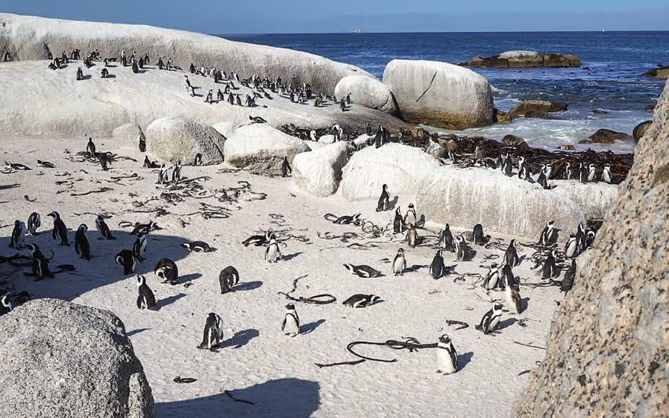Boulder Penguin Colony
