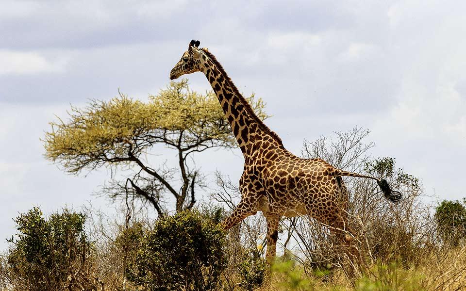 herbert2512 pixabay giraffe 4041985 - Kenia: Golfen und Genießen in Afrika